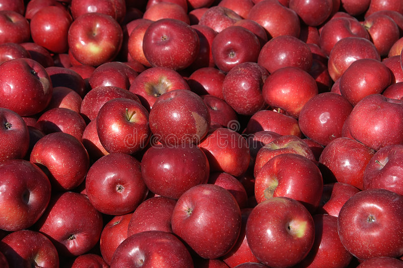 Colheita De Apple Imagem de Stock