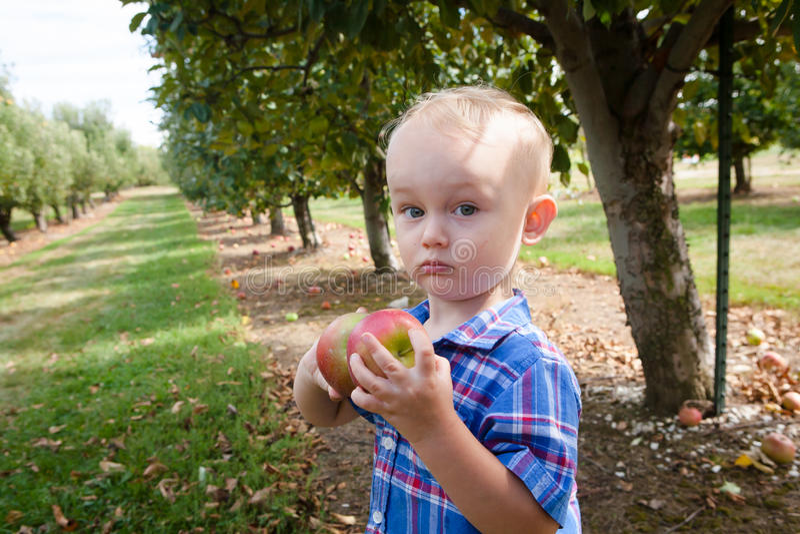 Colheita de Apple do menino no pomar fotografia de stock royalty free