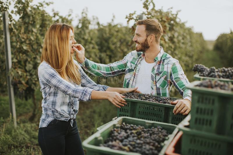 Colheita de uva no vinhedo imagens de stock