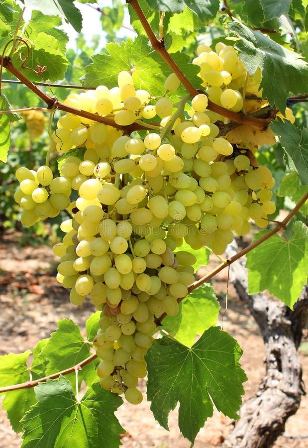 Download Colheita de uvas verdes imagem de stock. Imagem de folha - 29838797