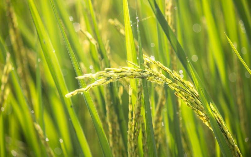 Colheita do arroz 'paddy' imagem de stock