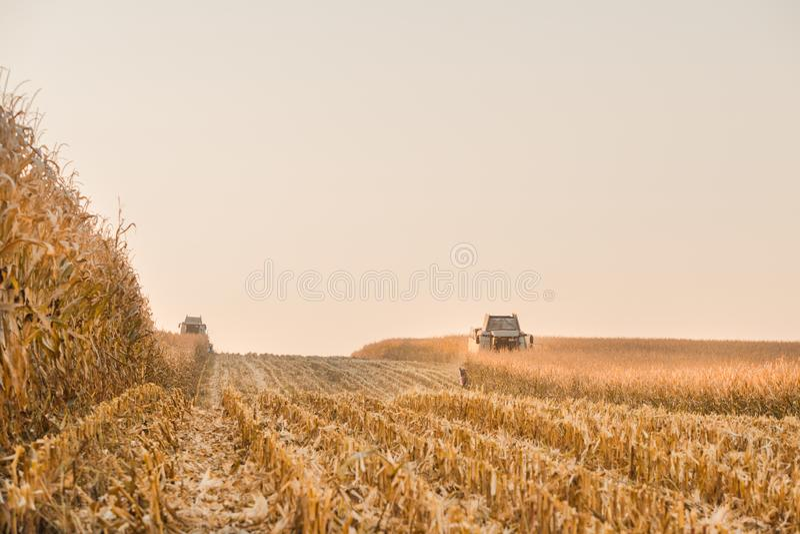 Colheita do campo de milho imagem de stock