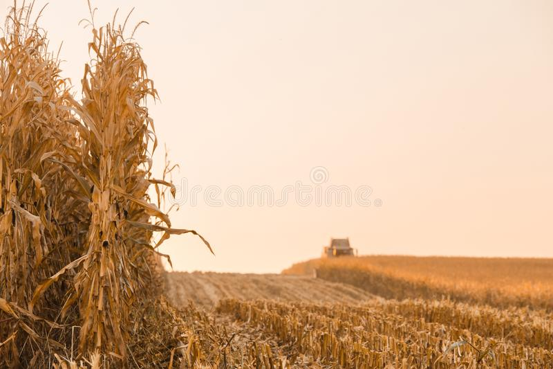 Colheita do campo do milho foto de stock