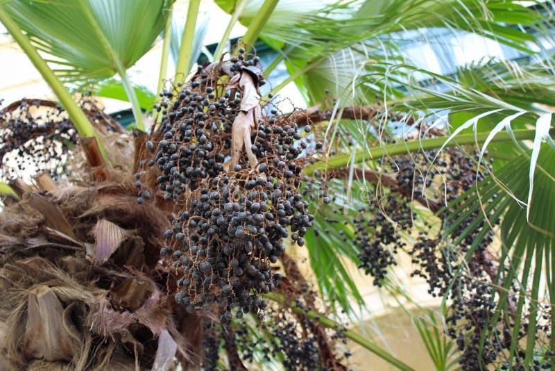 Colheita do fruto da palma, olhar ascendente malta do fim imagens de stock royalty free
