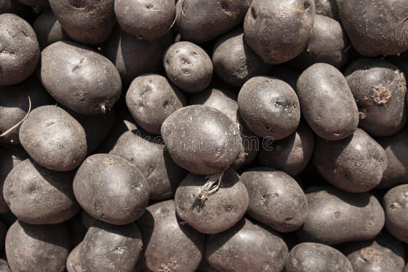 Colheita do fundo roxo das batatas fotografia de stock royalty free