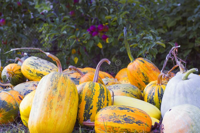 Colheita do outono das abóboras no quintal imagem de stock royalty free
