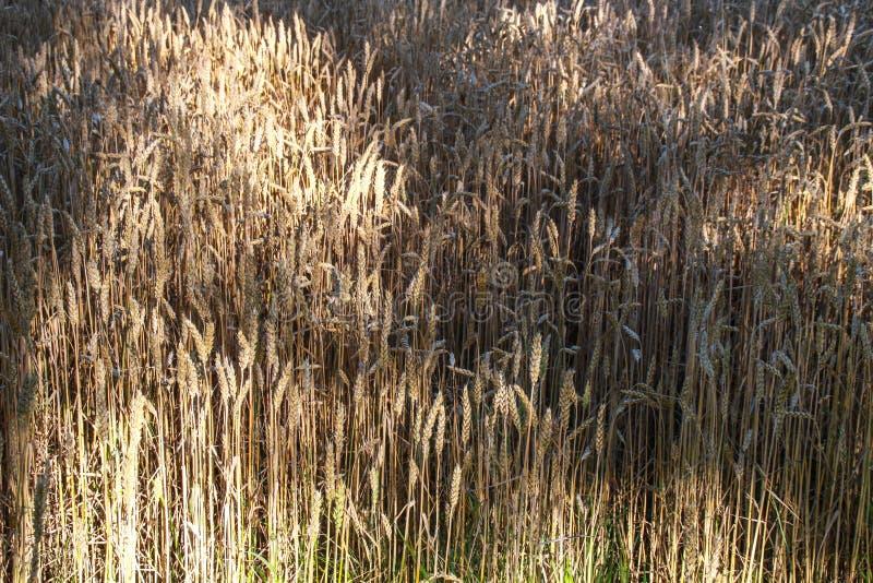 Colheita do trigo dourado no campo imagens de stock royalty free
