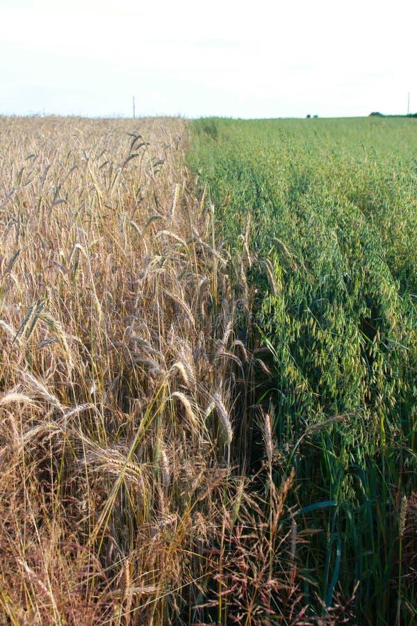 Colheita do trigo dourado no campo foto de stock