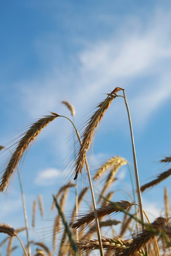 Colheita do trigo dourado no campo fotografia de stock