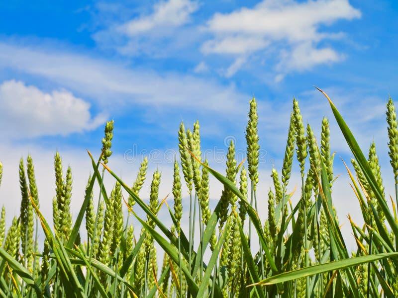 Colheita do trigo no céu azul fotografia de stock