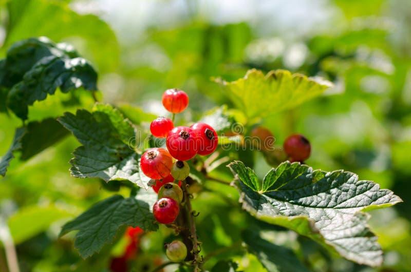 A colheita do verão, corinto vermelho cresce em um arbusto no jardim fotos de stock