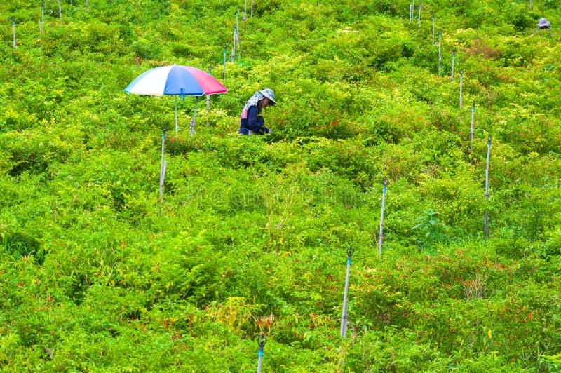 A colheita dos trabalhadores de papéis dos pimentões na montanha alta do vale o norte de Tailândia, o 26 de outubro de 2018, Tail imagem de stock royalty free