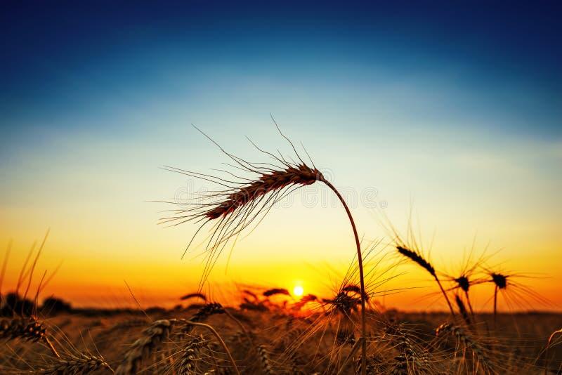 Colheita dourada no por do sol campo da colheita e céu azul foto de stock royalty free