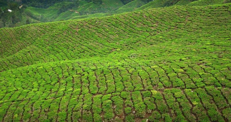 Colheita em montanhas de Cameron, Malaysia do chá imagens de stock