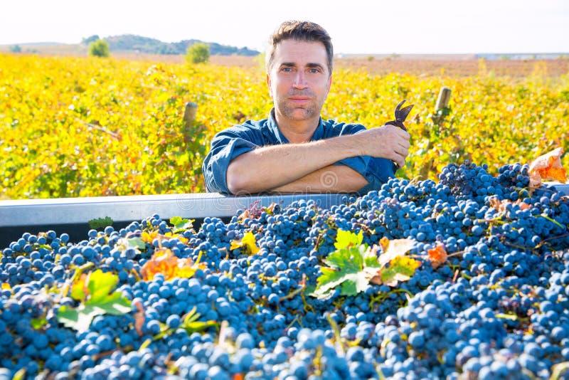 Colheita mediterrânea cabernet - sauvignon do fazendeiro do vinhedo foto de stock