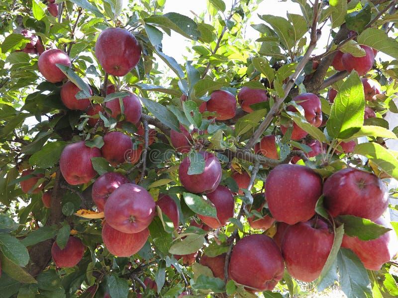 Colheita rica de maçãs vermelhas suculentas no ramo de árvore imagem de stock