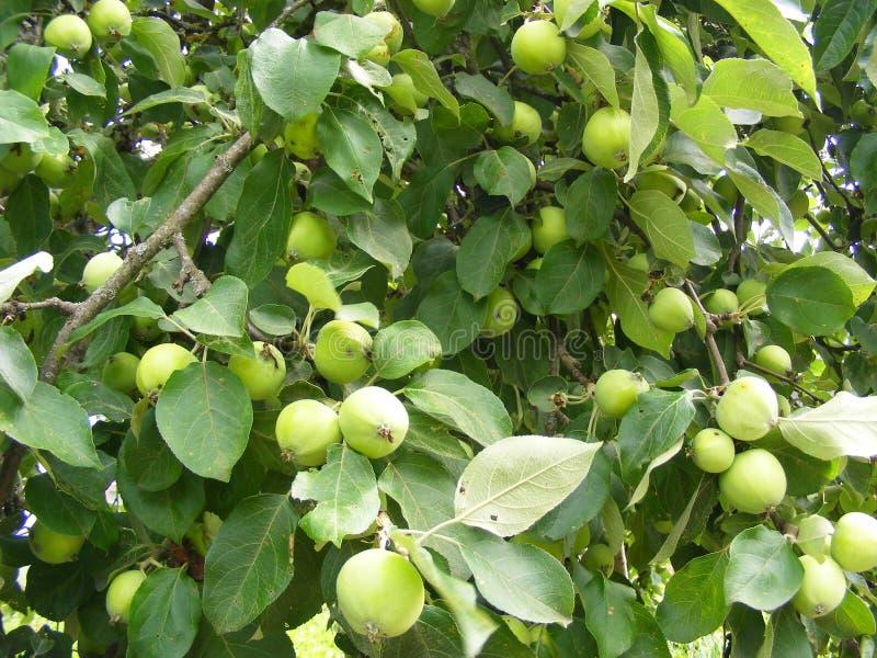 A colheita rica, maçãs verdes em uma Apple-árvore ramifica, textura do fundo imagem de stock