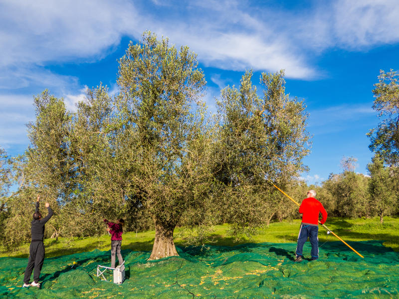 Colheita verde-oliva fotos de stock royalty free