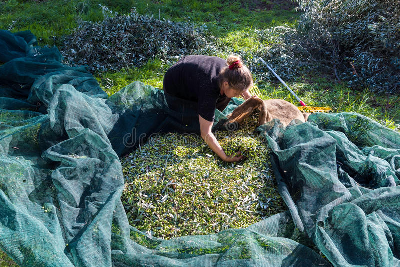 Colheita verde-oliva em Grécia fotos de stock