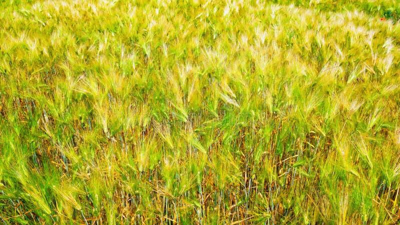 Colheitas do cereal em um dia ensolarado imagens de stock royalty free