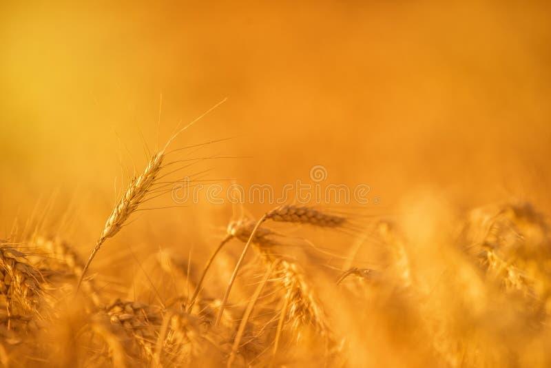 Colheitas do trigo no campo agrícola fotos de stock royalty free