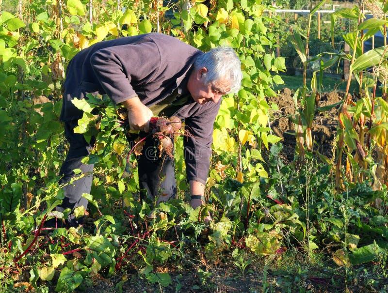Colhendo beterrabas orgânicas frescas. imagem de stock