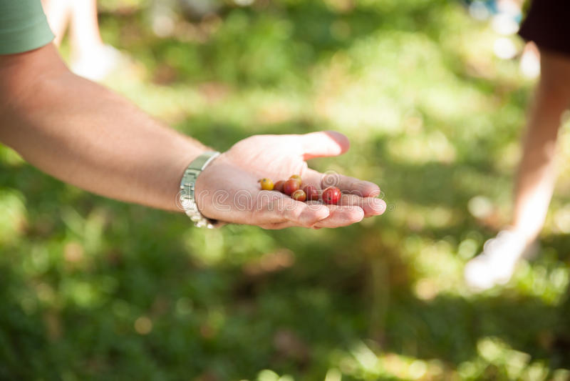 Colhendo feijões de café maduros, plantação de café em Cuba foto de stock