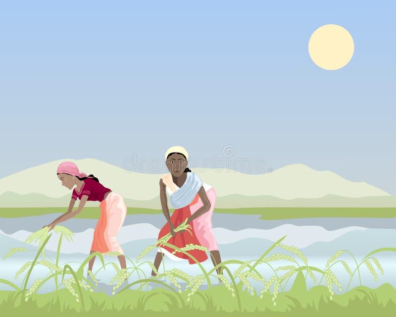Colhendo o arroz ilustração do vetor