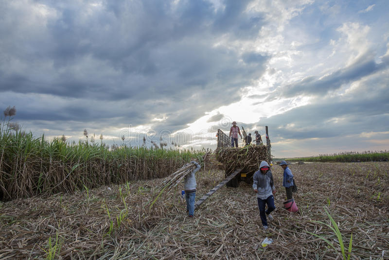 Colhendo o campo da cana-de-açúcar, província de Tay Ninh, Vietname imagens de stock