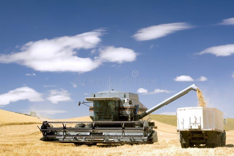 Colhendo o trigo para o lucro foto de stock royalty free