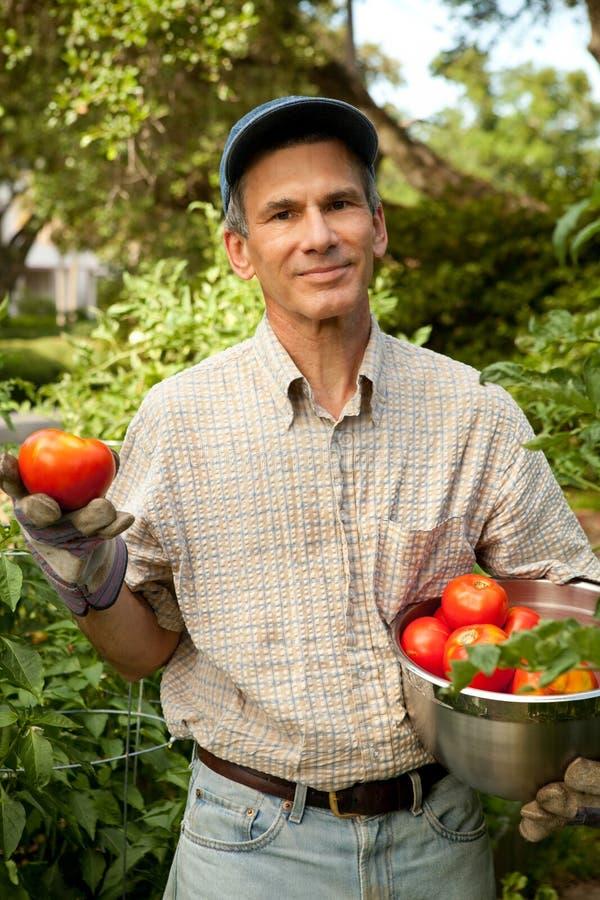 Colhendo os tomates do verão foto de stock