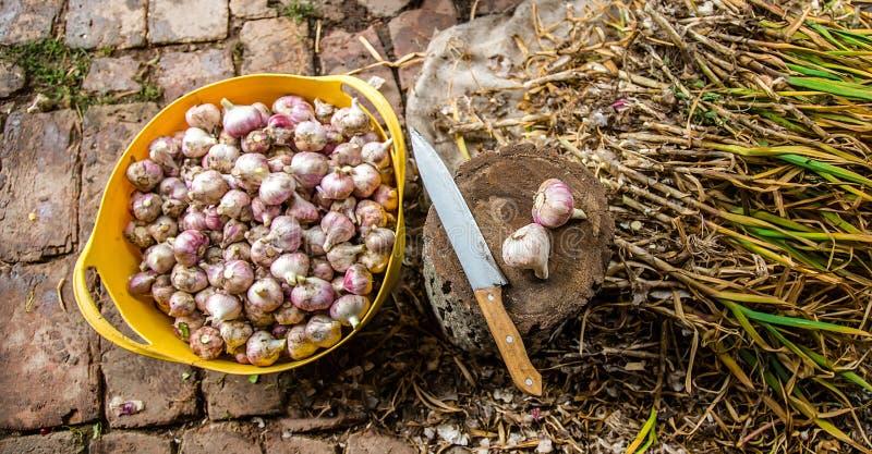 Colhendo, secando e processando o alho na exploração agrícola fotografia de stock