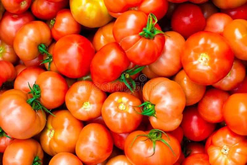 Colhendo tomates na estufa fotos de stock royalty free