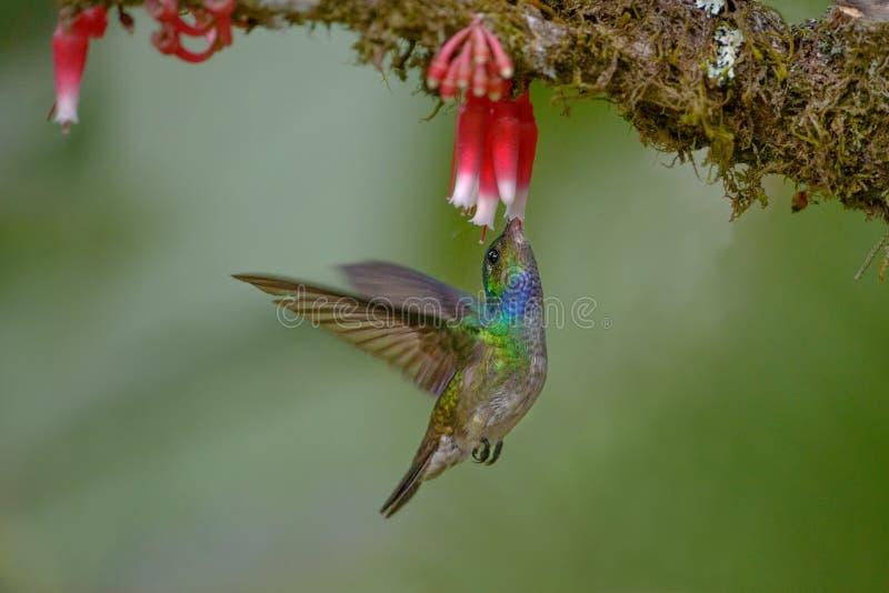 Colibrì affascinante in Costa Rica immagini stock libere da diritti