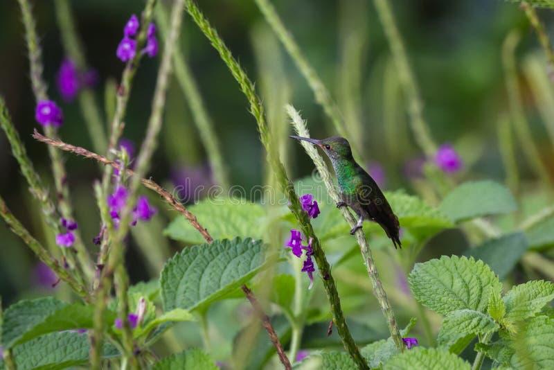 Colibrì appollaiato su un gambo di fioritura fotografia stock libera da diritti