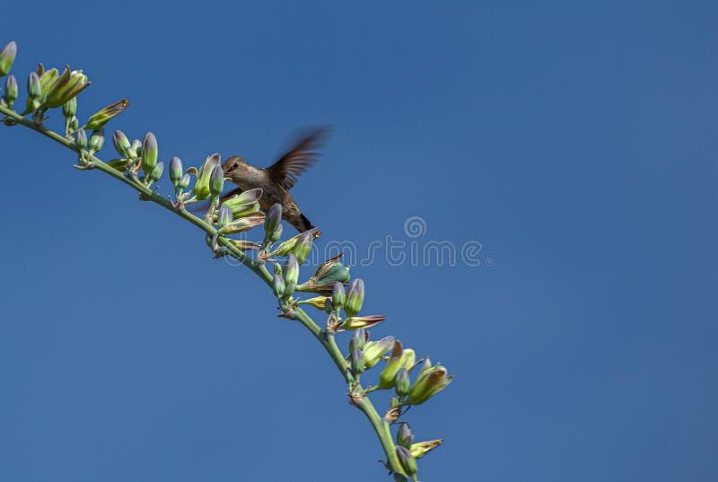 Colibrì che riunisce nettare nel deserto dell'Arizona fotografie stock