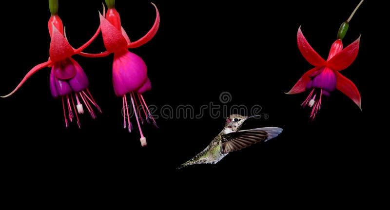 Colibrì che si alimenta Hardy Fuchsia Flowers fotografia stock libera da diritti