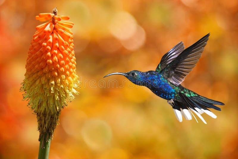 Colibrì con il fiore tropicale fotografie stock libere da diritti