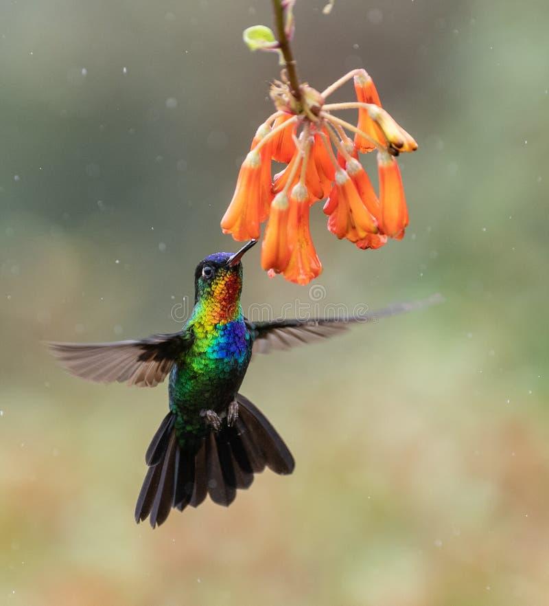 Colibrì in Costa Rica fotografia stock libera da diritti