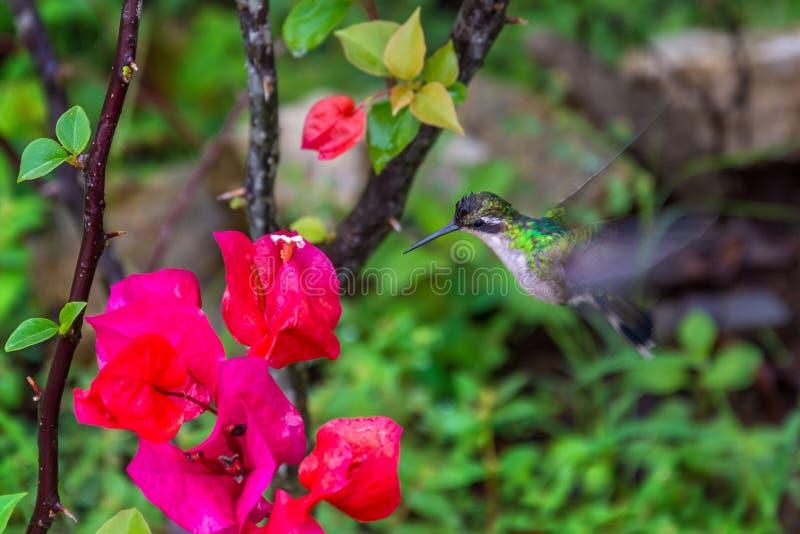 Colibrì da un fiore variopinto fotografia stock