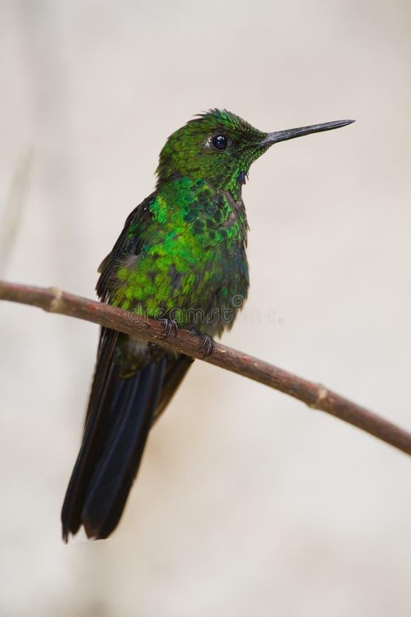 Colibrì dalla Costa Rica fotografie stock