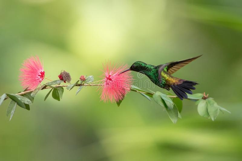 Colibrì del rame-rumped che si libra accanto al fiore rosa della mimosa, uccello in volo, foresta tropicale caribean, Trinidad e  fotografia stock libera da diritti