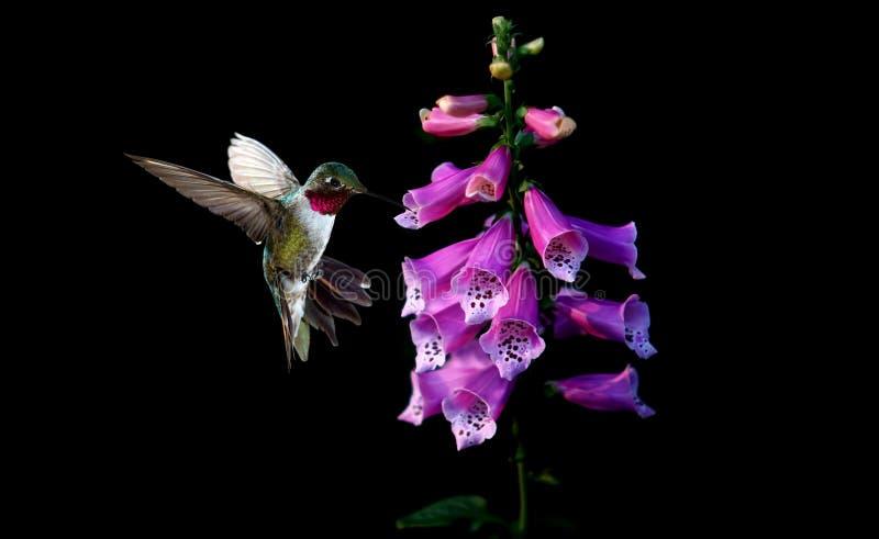 Colibrì del ` s di Anna con i fiori della digitale purpurea fotografia stock