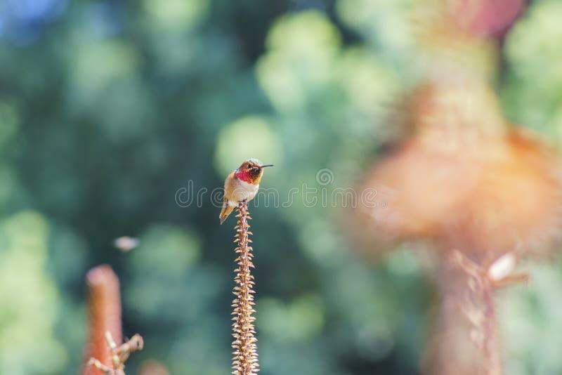 Colibrì e bei arborescens rossi dell'aloe immagine stock