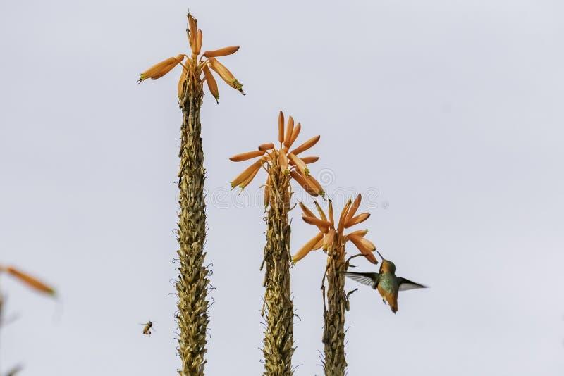 Colibrì e bei arborescens rossi dell'aloe fotografia stock