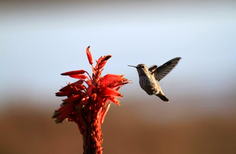Colibrì e fiore fotografie stock