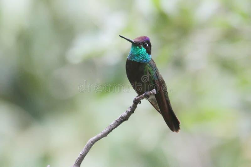 Colibrì magnifico (fulgens di Eugenes) fotografia stock libera da diritti
