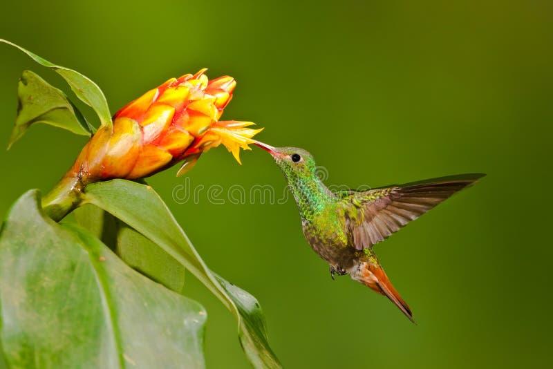 Colibrì munito Rufous fotografia stock libera da diritti