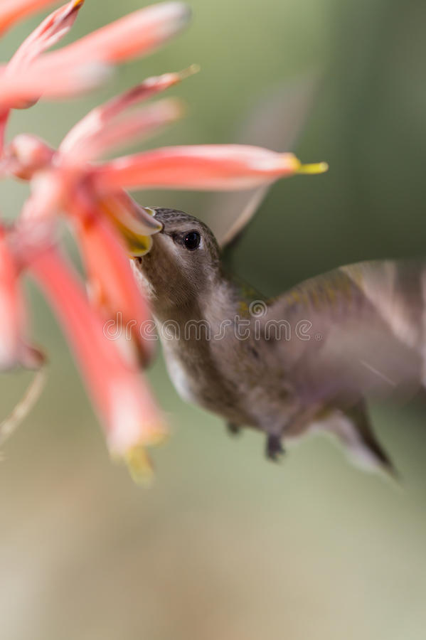 Colibrì Nero-chinned fotografia stock