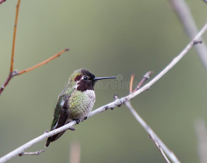 Colibrì Nero-chinned (alexandri del Archilochus) fotografia stock libera da diritti